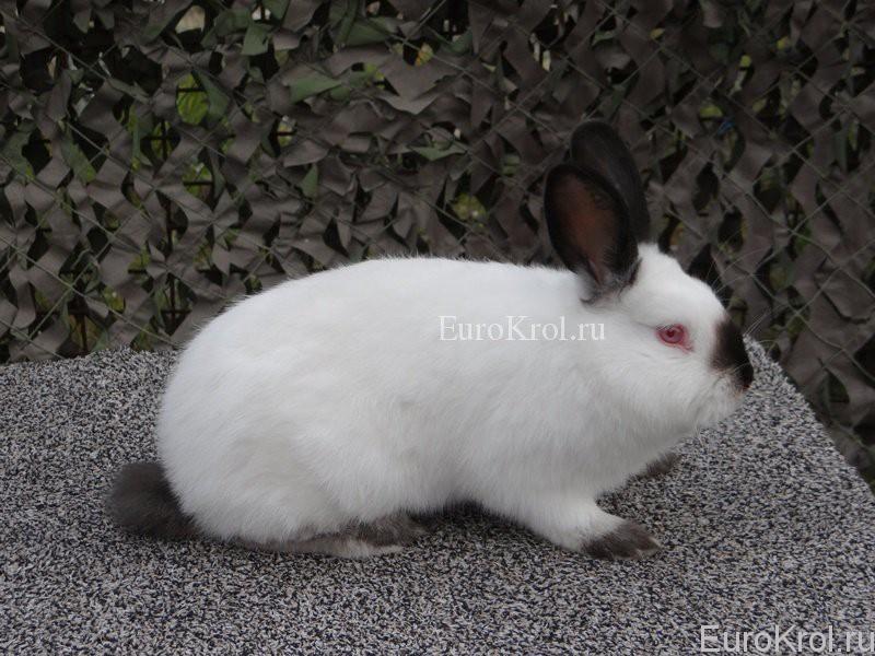Калифорнийская порода кроликов