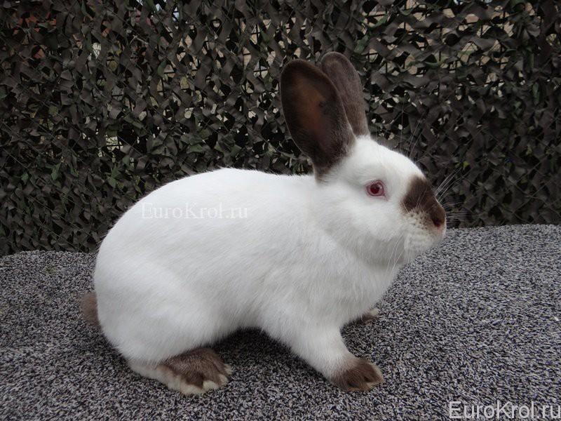 Калифорнийский коричневый кролик