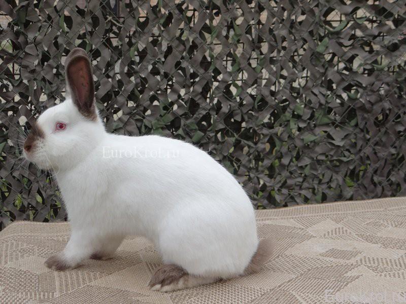 Калифорнийский кролик коричневого окраса