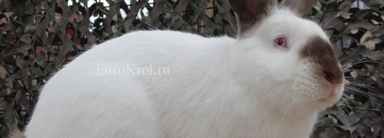 Калифорнийский кролик окрас гавана