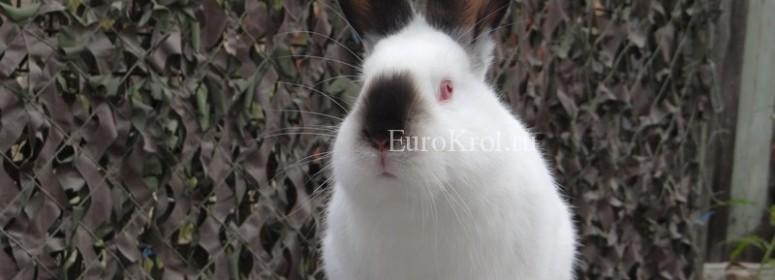 Калифорнийский кролик
