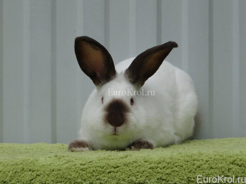 Кролик калифорнийский гавана