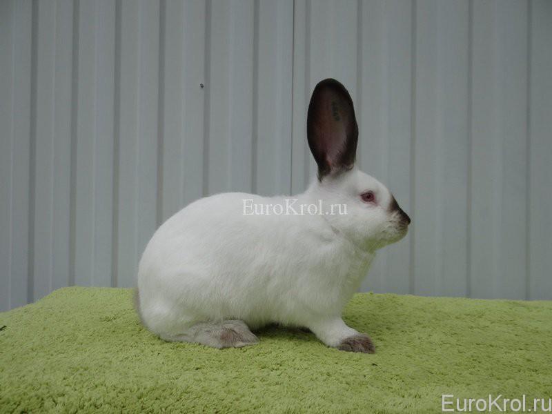 Кролик калифорнийский коричневый в хозяйстве Моряк