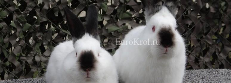 Порода кроликов калифорнийский