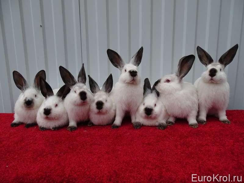 Калифорнийские кролики в группе