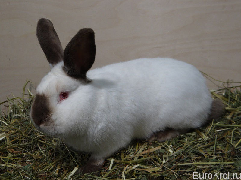 Кролик калифорнийский гавана на тюке сена
