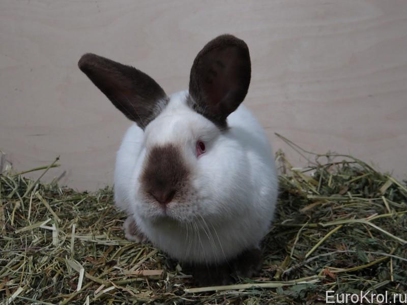 Кролик калифорнийский гавана в хозяйстве моряк