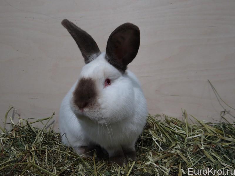 Коричневый кролик калифорнийский