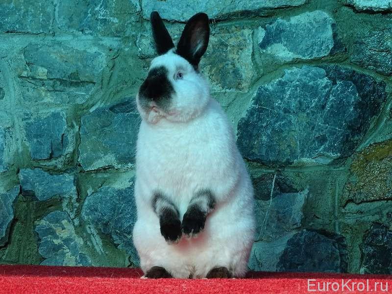 Кролик калифорнийский смотрит вдаль