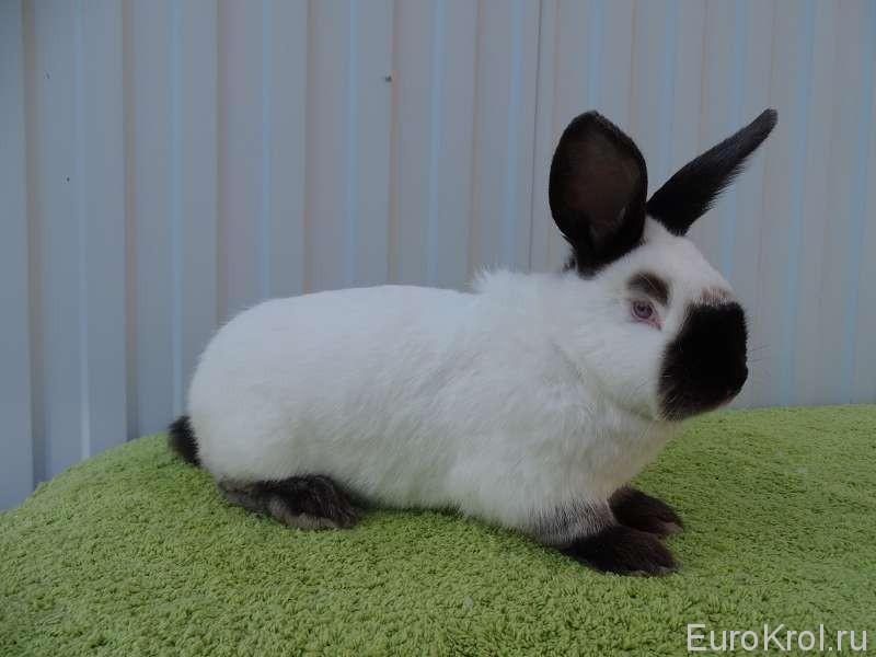 Калифорнийский кролик широкая маска