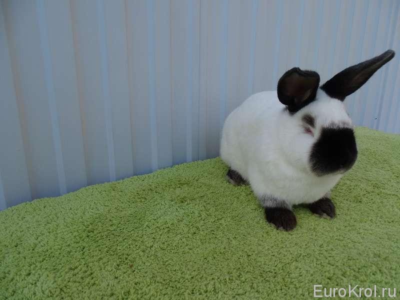 Кролик на столе
