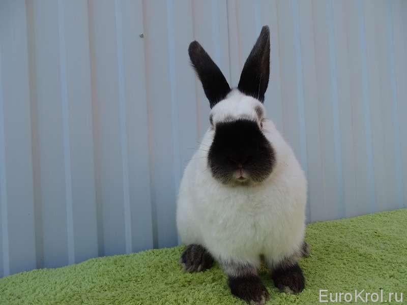 Калифорнийский кролик европейских линий