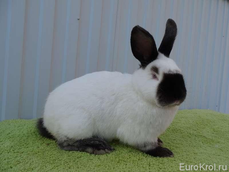 Кролик смотрит на право