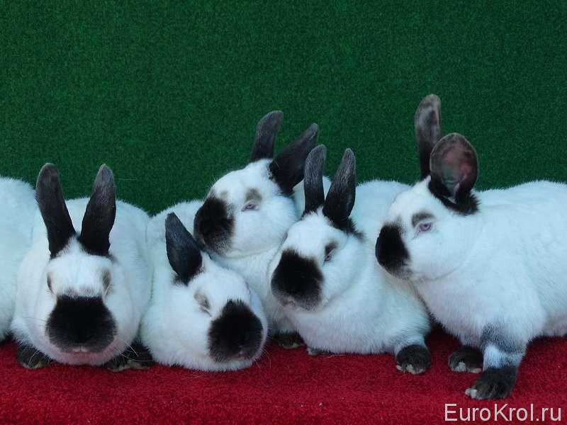 Дружная семейка кроликов калифорнийцев