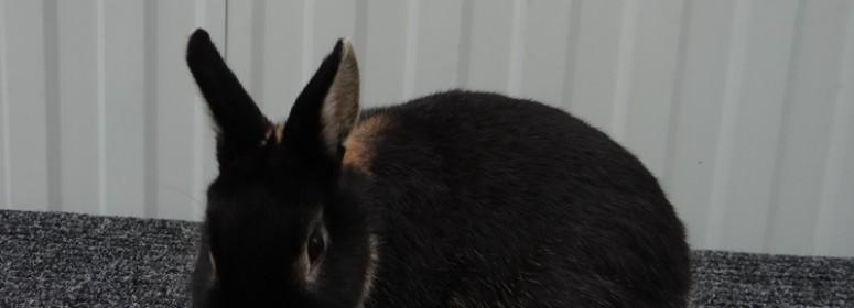 Нидерландские карликовые кролики