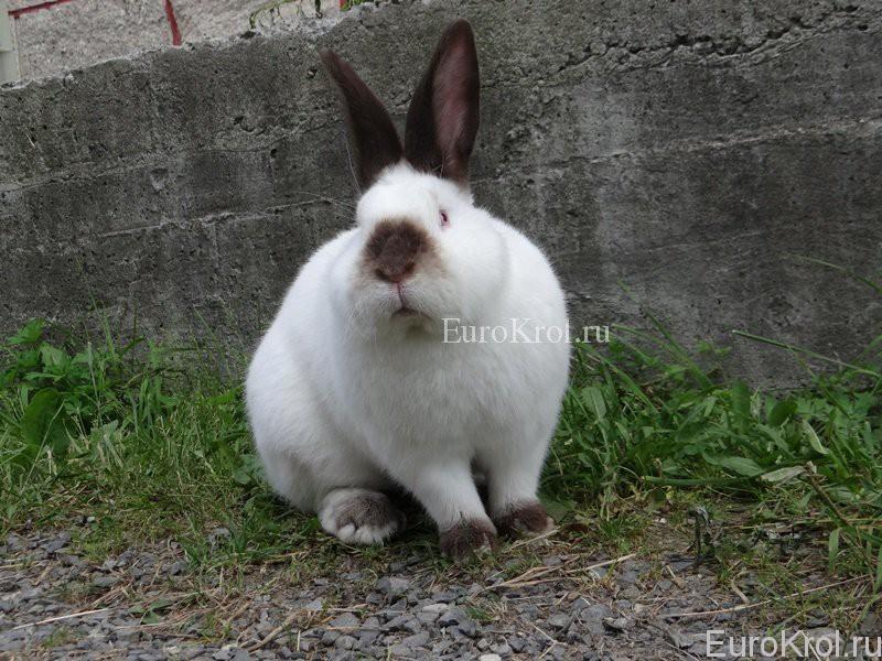 Калифорнийские кролики в домашних условиях