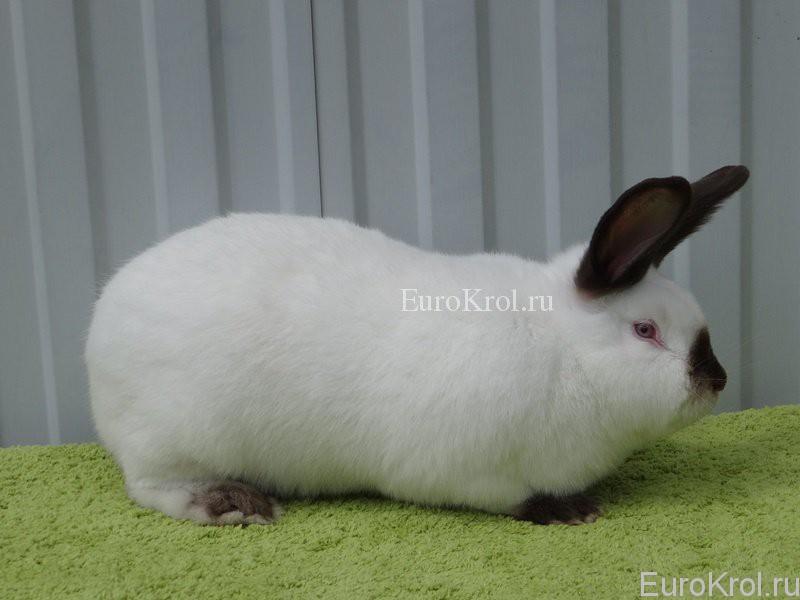 Калифорнийский кролик гавана на зелёном ковре