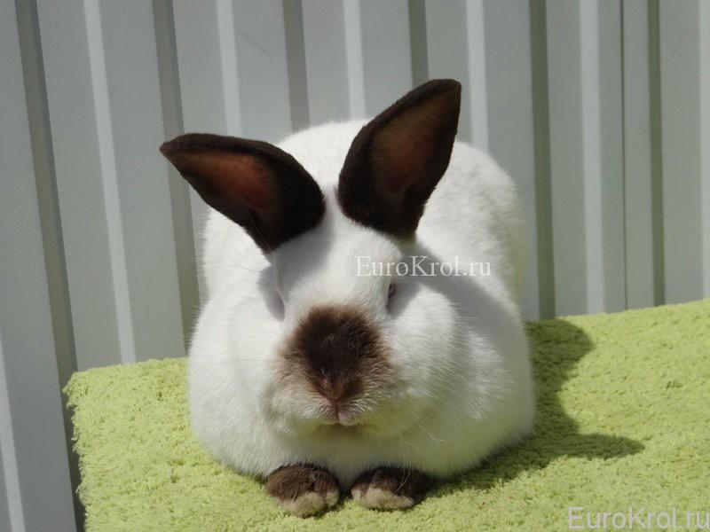 Калифорнийские кролики вес