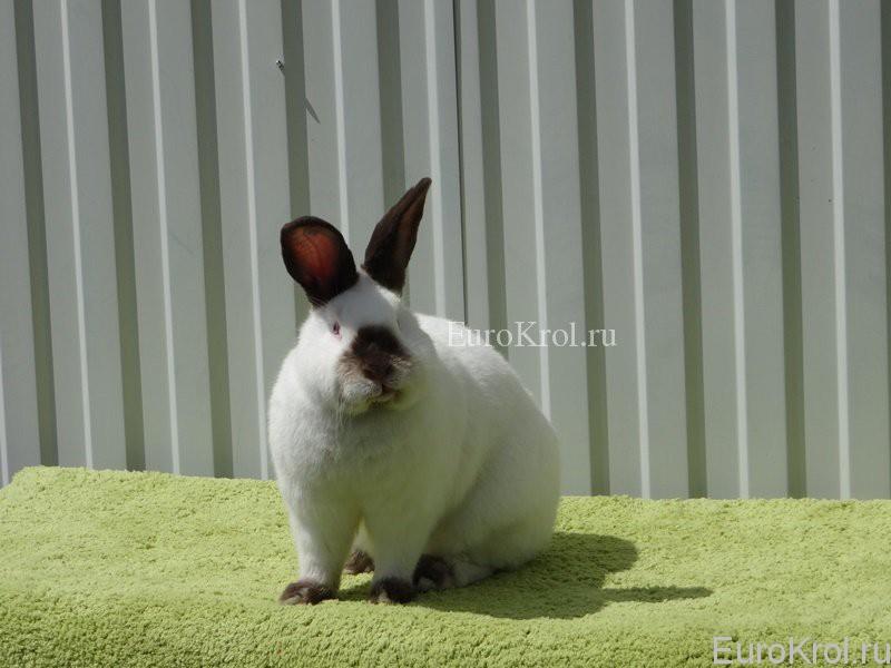 Кролик калифорнийский коричневого окраса