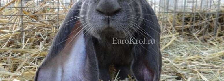 Английский баран голубой