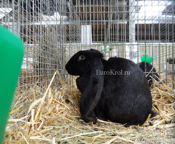 Английский баран чёрный