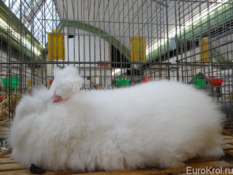 Ангорские кролики на выставке в Германии