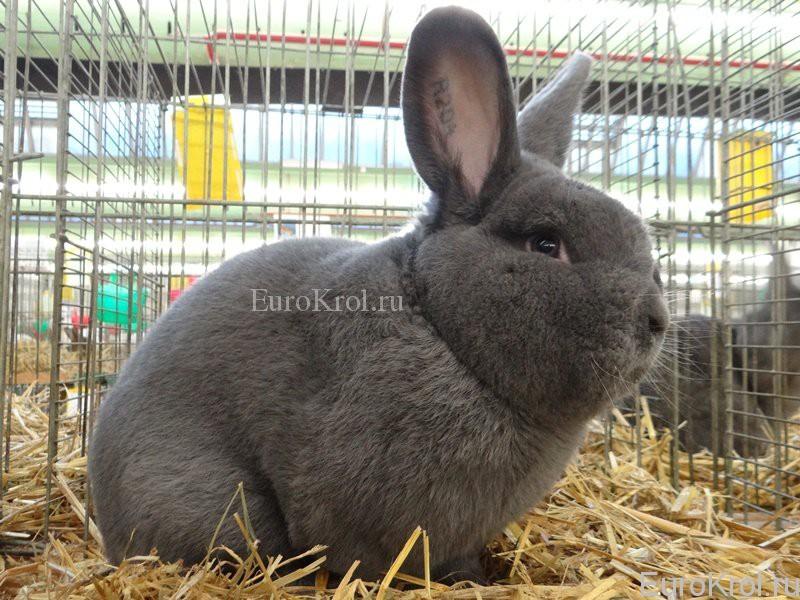 Венский голубой кролик на выставке в Германии