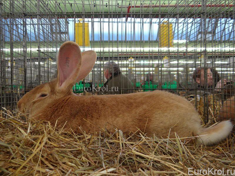 Кролики ризен жёлтый на выставке в Германии