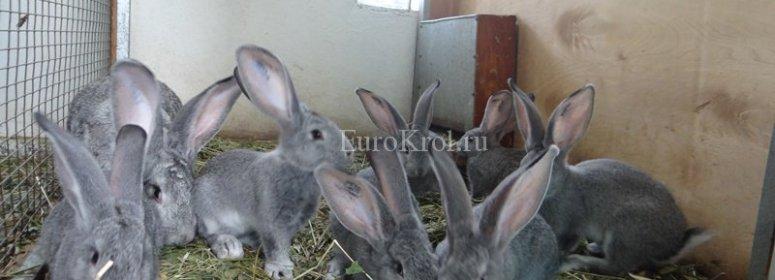 Кролики фландр шиншилловый