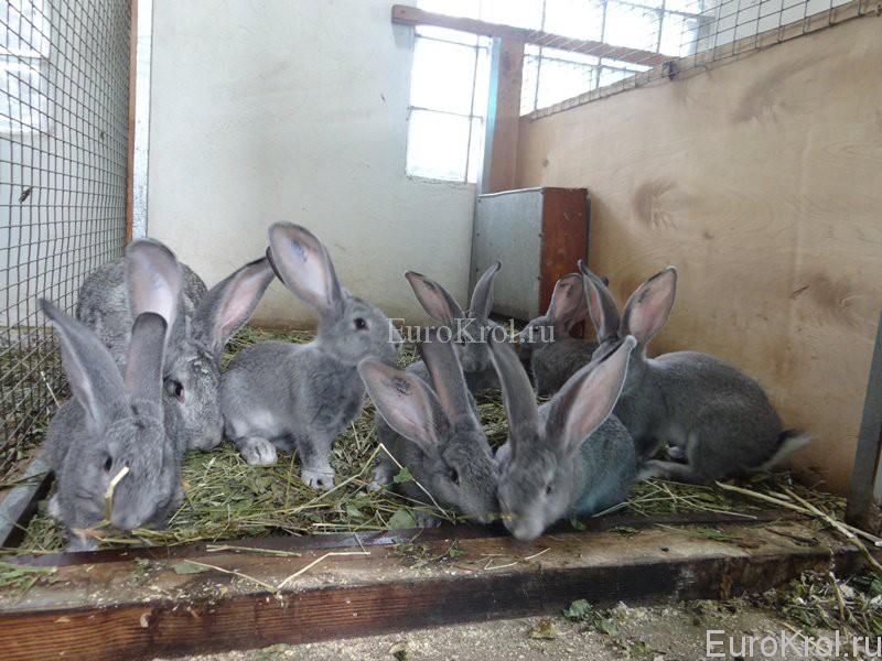 Кролики породы фландр шиншилловый
