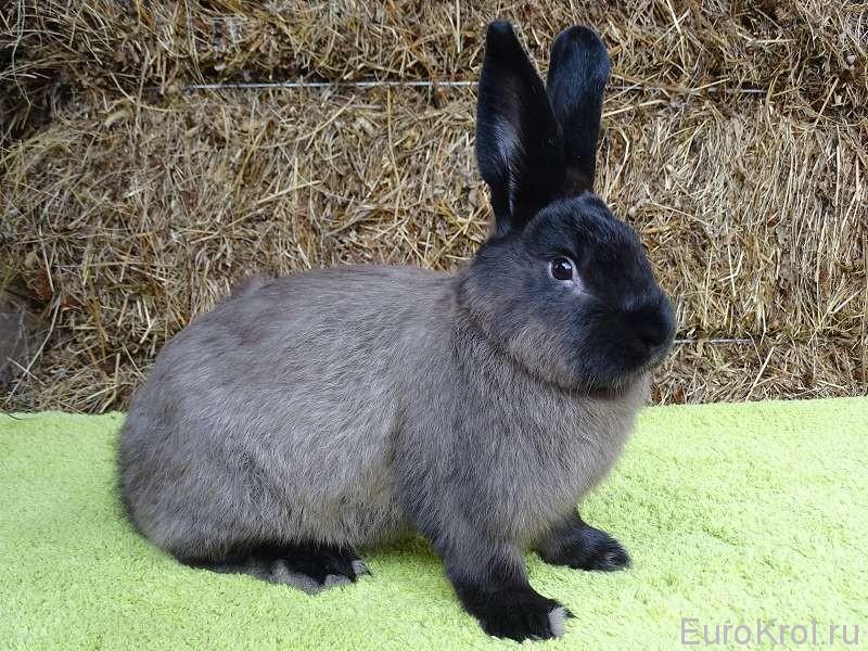 Кролик - Большой Мардер Коричневый