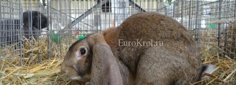 Кролик английский баран агути