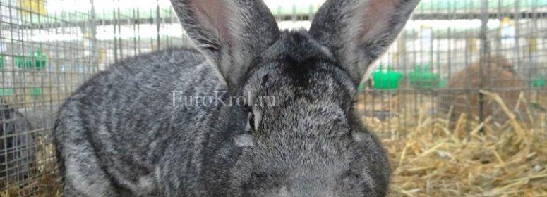 Кролик большая шиншилла