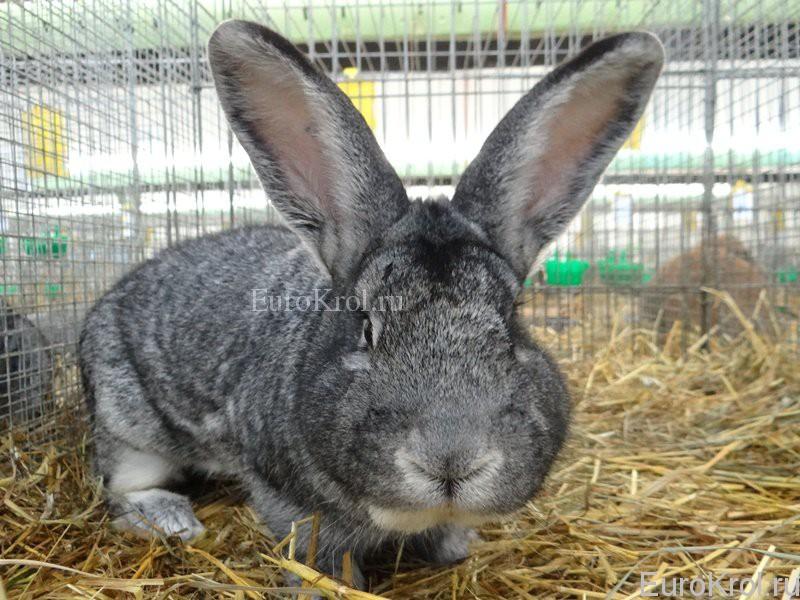 Кролик большая шиншилла на выставке