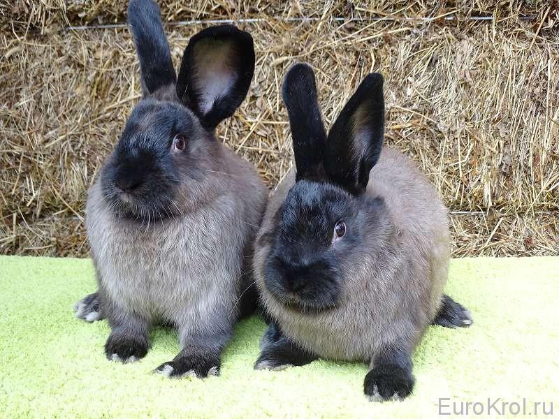 Кролик большой мардер