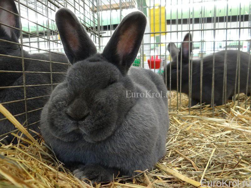 Кролик венский голубой на выставке