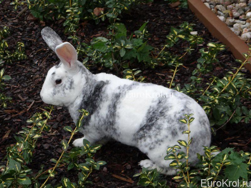 Кролик породы рекс рён