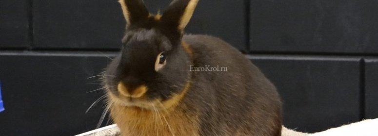 Кролик породы чёрно-огненный гавана