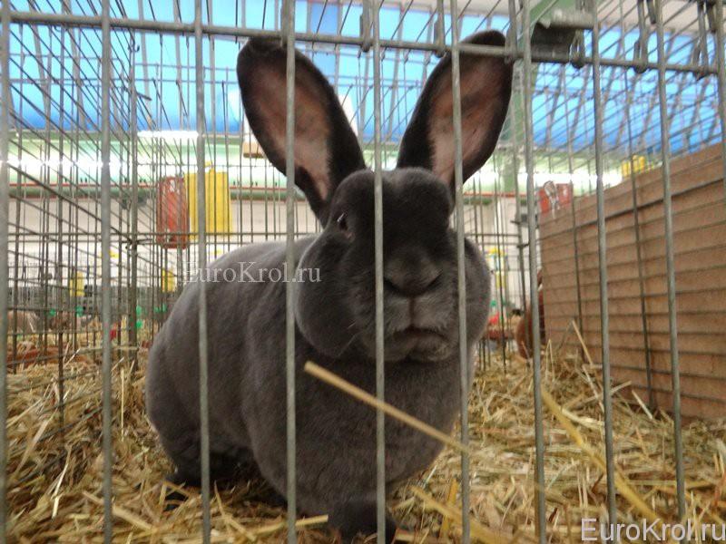 Кролик рекс гавана