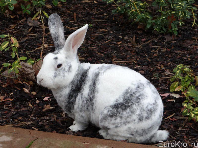Кролик рекс окраса рен
