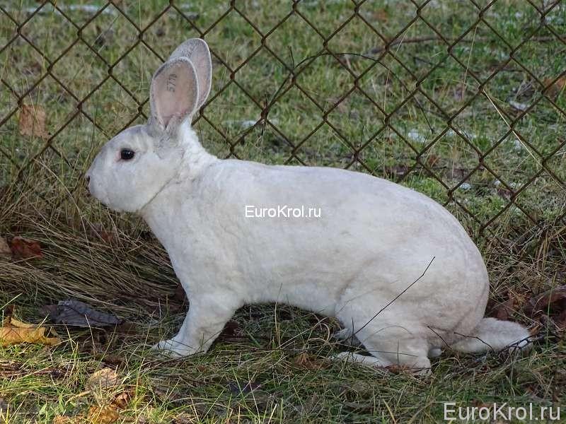 Кролик рекс редкого окраса