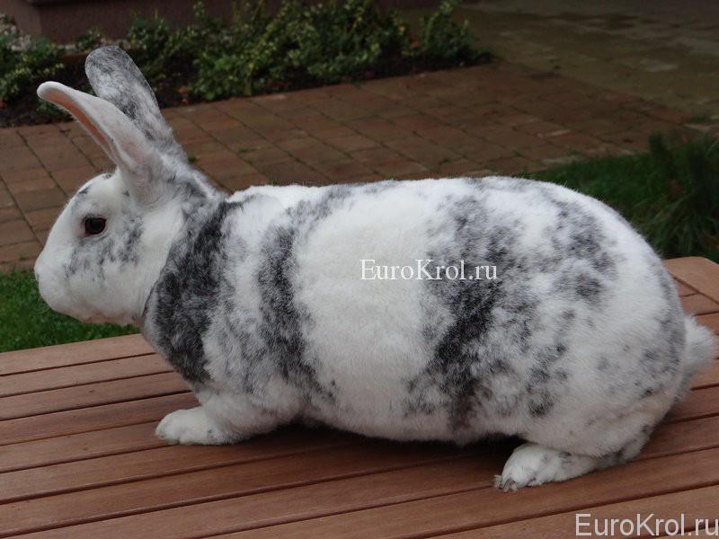 Кролик рекс рён