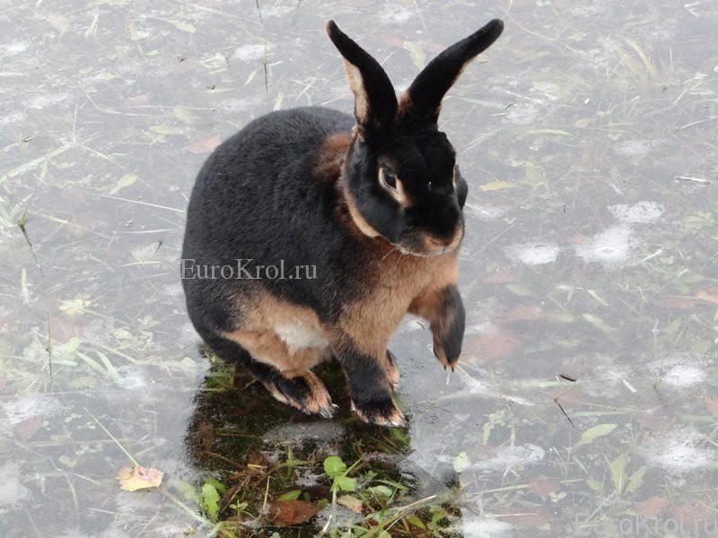 Кролик рекс чёрно-огненный