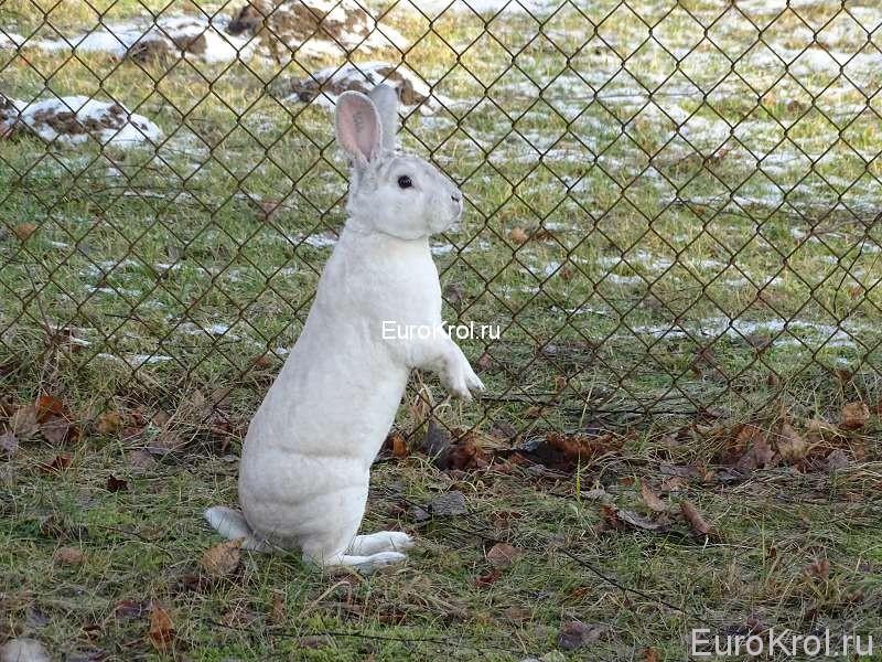 Кролик рекс чёрно остевой в вольере