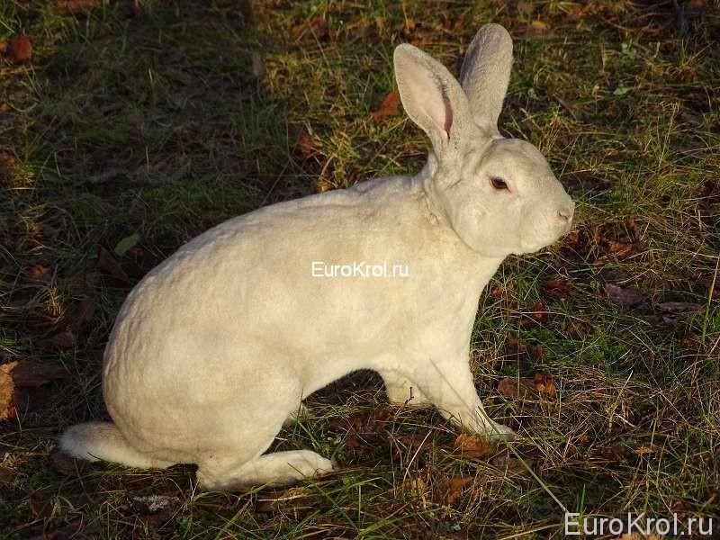 Кролик рекс шварц граннер