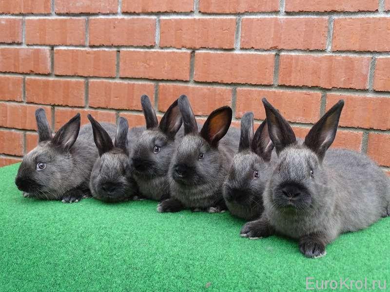 Порода кроликов- большой мардер