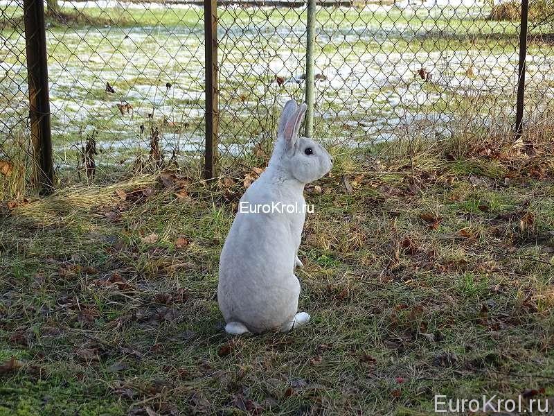 Редкие окрасы кроликов рекс