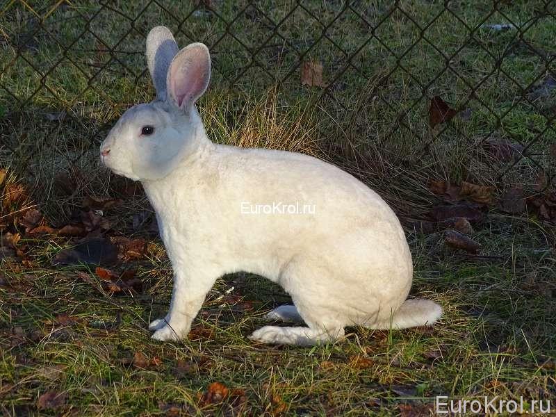 Рекс редкий окрас кроликов