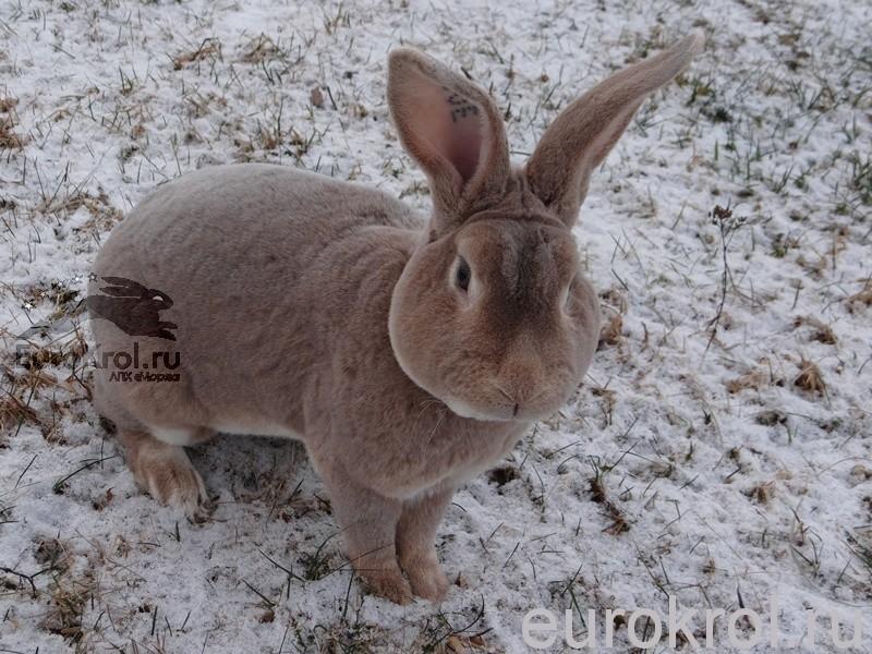 Кролик рекс люкс