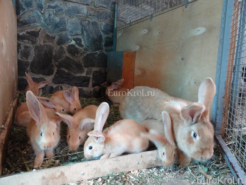 Ризен гелб крольчата в хозяйстве Моряк